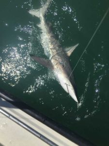 Black tip shark caught by Galveston Shark Fishing Guides